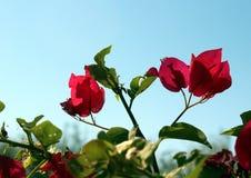 La bouganvillée fleurit l'Arizona photo stock