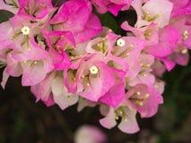La bouganvillée fleurit le blanc rosâtre Images stock