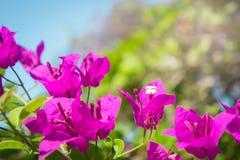 La bouganvillée fleurit, les fleurs roses en parc Photos stock