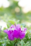 La bouganvillée fleurit, les fleurs roses en parc photographie stock libre de droits