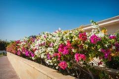 La bouganvillée fleurit sur un fond des arbres exotiques photographie stock