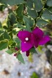 La bouganvillée rose Photo libre de droits