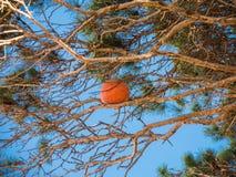 La boule de basket-ball a collé sur le dessus de la branche de l'arbre en parc image libre de droits