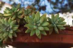 La boule mexicaine de neige d'elegans d'Echeveria, gemme mexicaine, la rose blanche de Mexicain est des espèces d'usine fleurissa Photo stock