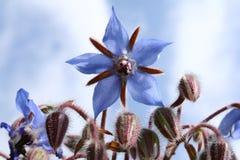 La bourrache fleurit (le starflower) Images stock