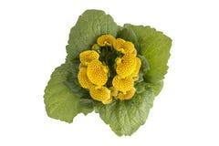 La bourse de Madame, fleur de pantoufle Photographie stock