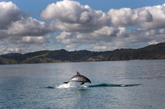 La bouteille a flairé le dauphin photographie stock