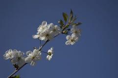 La branche avec des fleurs Image libre de droits