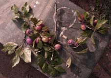 La branche avec des prunes Photos libres de droits