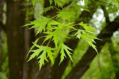 La branche d'arbre d'érable argenté avec des jeunes part du saccharinum d'Acer Photographie stock libre de droits