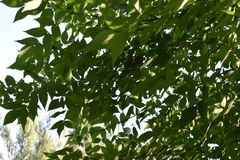 La branche d'arbre avec le vert laisse le plan rapproché images libres de droits