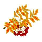 La branche d'automne du thème d'été de feuilles et de baies de sorbe d'isolement sur le vintage blanc dirigent l'illustration edi Photos stock