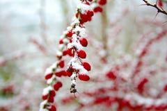 La branche d'hiver du berbéris Photo stock