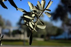 La branche d'olivier est un symbole de la paix images stock