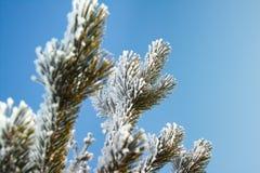 La branche d'un pin couvert de neige Photo stock