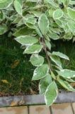 La branche de Bush avec le vert part dans la perspective d'un vert Photographie stock