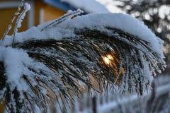 La branche de cèdre dans les rayons du coucher de soleil Image libre de droits