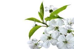 La branche de la cerise fleurit le plan rapproché Image libre de droits