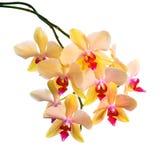 La branche de floraison de l'orchidée rayée orange, phalaenopsis est isola Image stock