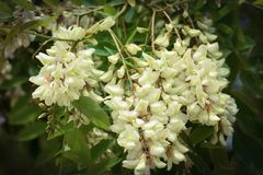 La branche de l'acacia blanc de floraison Photo stock