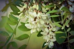 La branche de l'acacia blanc de floraison Images libres de droits