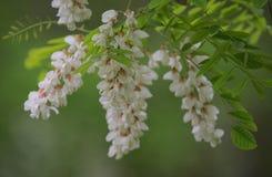 La branche de l'acacia fleurit au printemps le temps photographie stock