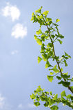 La branche de l'arbre de biloba de gingko Photographie stock