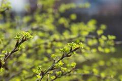 La branche de la groseille à maquereau Photos stock
