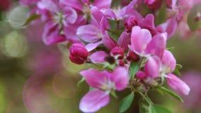 La branche de Sakura Cherry Blossoms rose, se ferment  banque de vidéos