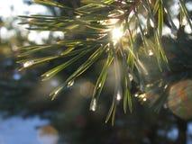 La branche de sapin miroitant sur le soleil dans des gouttelettes de glace image libre de droits