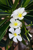 La branche des fleurs blanches de frangipani Image libre de droits