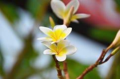La branche des fleurs blanches de frangipani Photos libres de droits