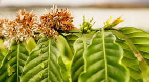 La branche du caféier avec des fleurs Photographie stock