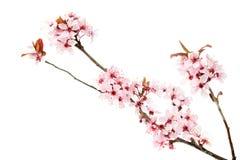 La branche du cerisier de floraison, Sakura a isolé sur le fond blanc photo stock