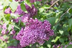La branche du lilas se développe plan rapproché Photo stock