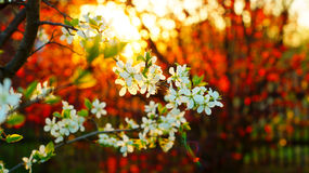 La branche du poirier fleurit sur le fond de la noisette rouge Photo libre de droits