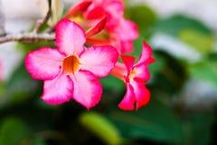La branche du rose tropical fleurit le frangipani Photos stock