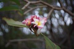 La branche du rose tropical fleurit le plumeria de frangipani sur le fond de bokeh de tache floue Image stock