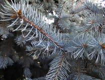 La branche du sapin bleu Photographie stock