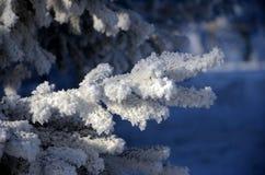 La branche du sapin dans le gel Photo stock