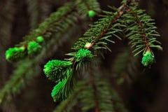 La branche a mangé avec les aiguilles vertes Photos libres de droits