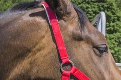 La briglia rossa per un cavallo Fotografia Stock Libera da Diritti