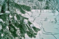 La brina ha riguardato il ramo del pino. Fotografia Stock Libera da Diritti