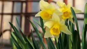 La brisa ligera sacude las flores amarillas del narciso salvaje almacen de video