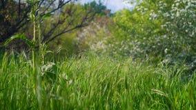 La brise légère bruit les épillets verts onduleux de l'herbe dans le pré parmi la clairière a rempli de lumière banque de vidéos