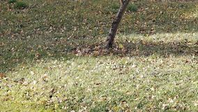 La brise légère déplace des feuilles à travers la pelouse avec l'herbe verte clips vidéos
