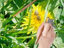 La brocha pinta el pétalo amarillo de la flor del diente de león Foto de archivo