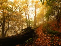 La brume d'automne dans la forêt de congé a plié des arbres de hêtre et d'érables avec moins de feuilles sous le brouillard Jour  photographie stock libre de droits