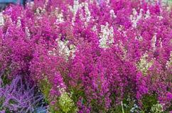 La bruyère rose et pourpre fleurit dans le jardin Photographie stock libre de droits