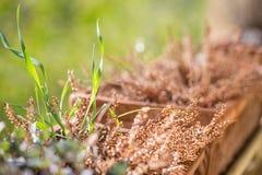 La bruyère sèche dans l'extérieur de pot de fleurs s'est allumée avec des rayons du soleil d'or Images stock